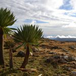 Giant lobelia in Bale Mountains National Park Ethiopia